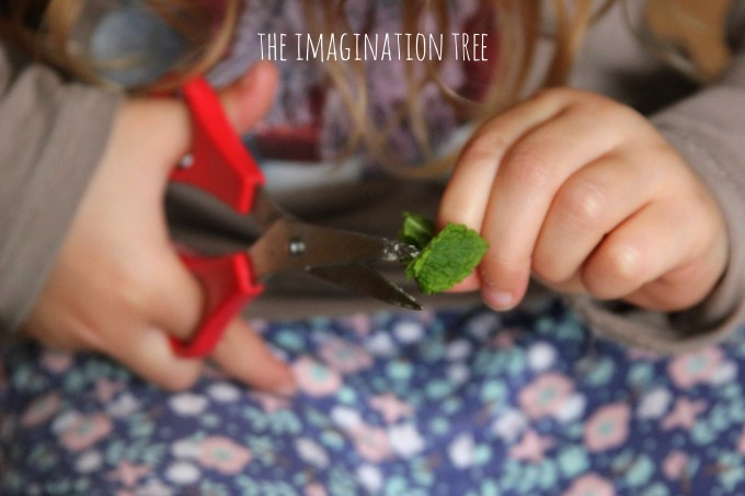 Snipping fresh mint for mint play dough