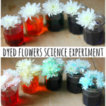 Dyed Flowers Science Experiment
