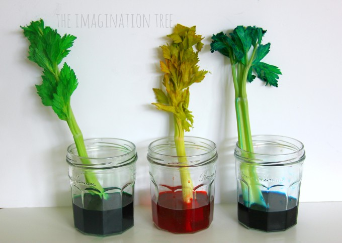 Dyed celery science experiment