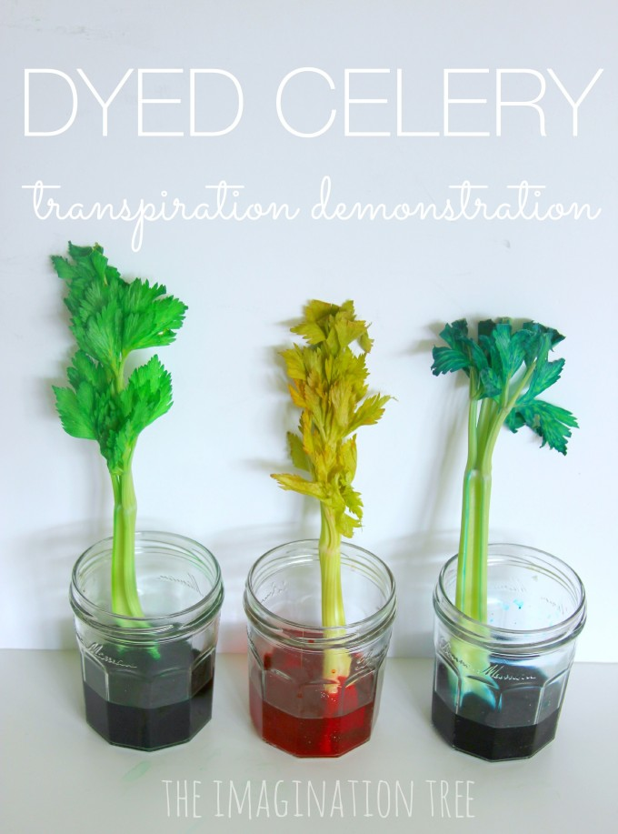 Dyed celery transpiration science experiment